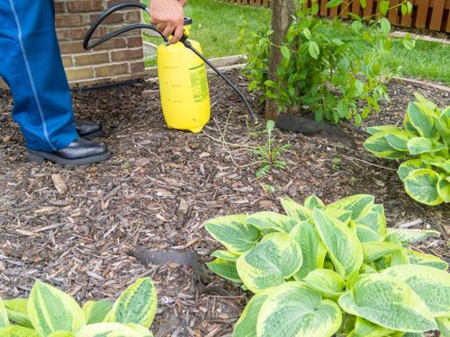 A closeup of a man spraying roundup in their home garden to kill weeds.
